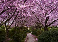 Полюбоваться цветением сакуры в Японии можно будет в марте