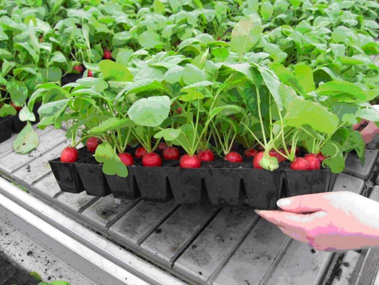 Редис в теплице, как правильно выращивать