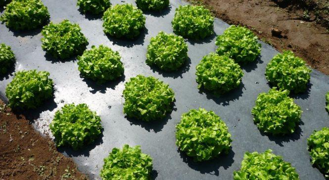 Черная мульчирующая пленка от сорняков  – агромагазин «Агролавка»